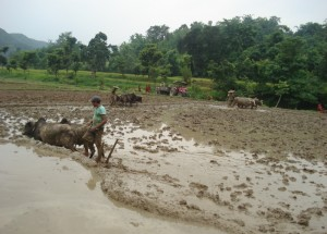 Paddy  Planting Festival